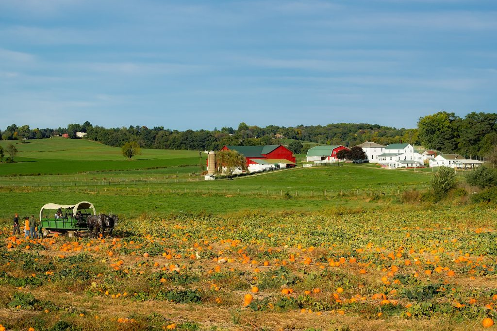 horse and buggy in pumpkin patch with red barn in distance